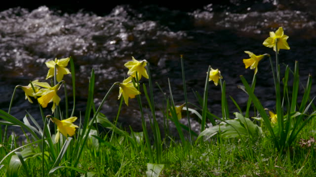 spring daffodils - riverbank stock videos & royalty-free footage