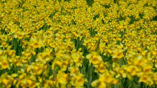 spring daffodils - daffodil stock videos & royalty-free footage