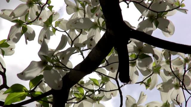 vídeos de stock e filmes b-roll de primavera dogwoods filmagem a partir de baixo - cornus