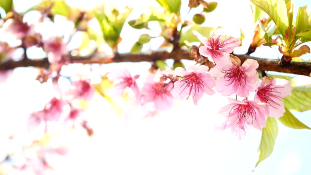 spring flower cherry sakura tree branch blossom background. - branch stock videos & royalty-free footage