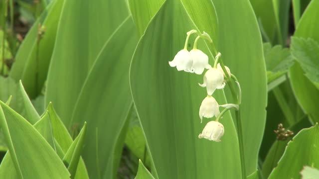 vidéos et rushes de hd : fleur de printemps - muguet
