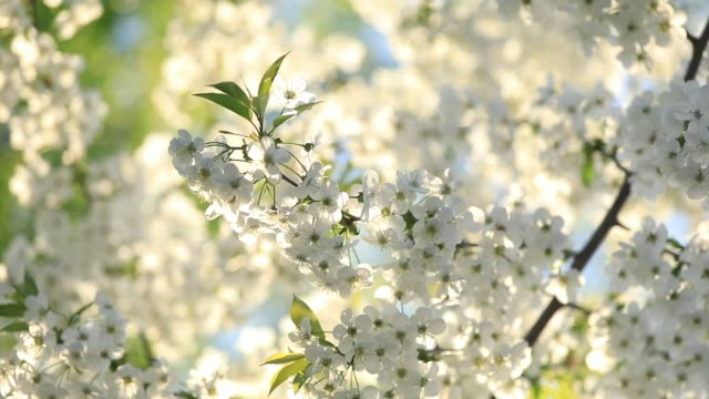 spring flowering cherry, white flowers background - may stock videos & royalty-free footage