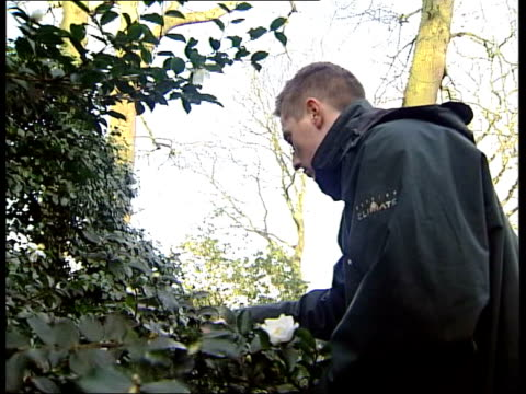 spring flowers arrive early; itn england: surrey: royal horticultural society gardens: ext tgvs rhs gardens tcms snowdrops in bloom gardener looking... - royal horticultural society stock-videos und b-roll-filmmaterial