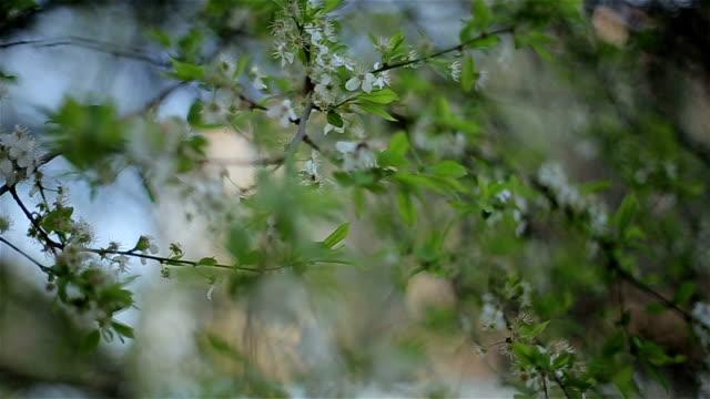 spring flowers on branch - ståndare bildbanksvideor och videomaterial från bakom kulisserna