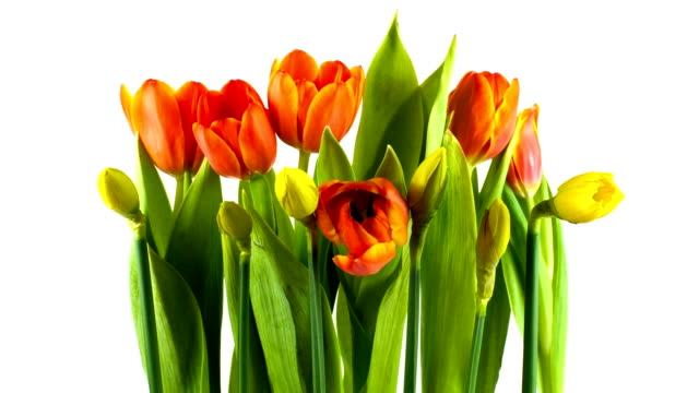 spring flowers time lapse - tulip stock videos and b-roll footage