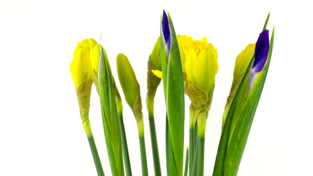 spring flowers time lapse - daffodil stock videos and b-roll footage