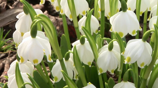 hd: spring flowers - snowdrop stock videos and b-roll footage