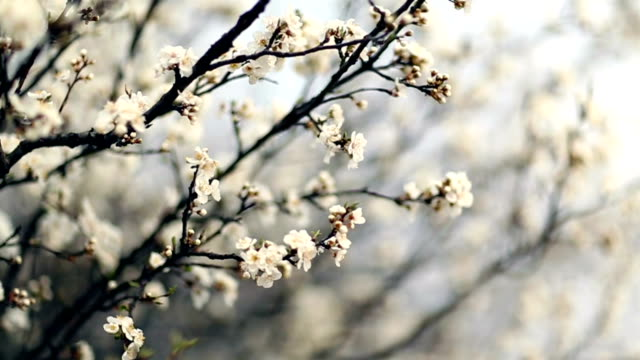 vidéos et rushes de fleurs de printemps - étamine