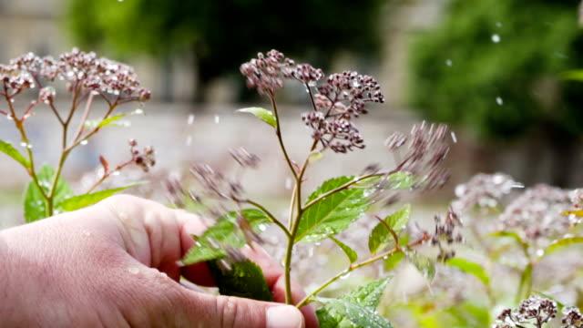 vidéos et rushes de fleurs de printemps - rosée