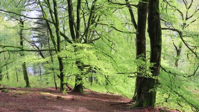spring foliage on beech trees in deer bolt woods above grasmere, lake district, uk. - woodland stock videos & royalty-free footage