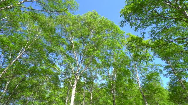 stockvideo's en b-roll-footage met lente groene woud - berk