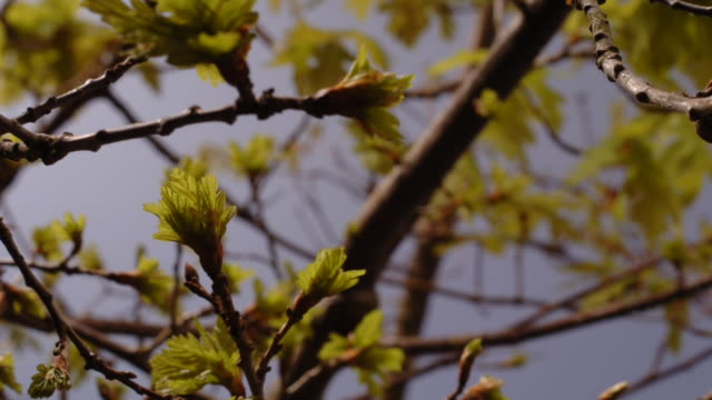 spring green leaves bud on thin oak branches. available in hd. - bud stock videos & royalty-free footage