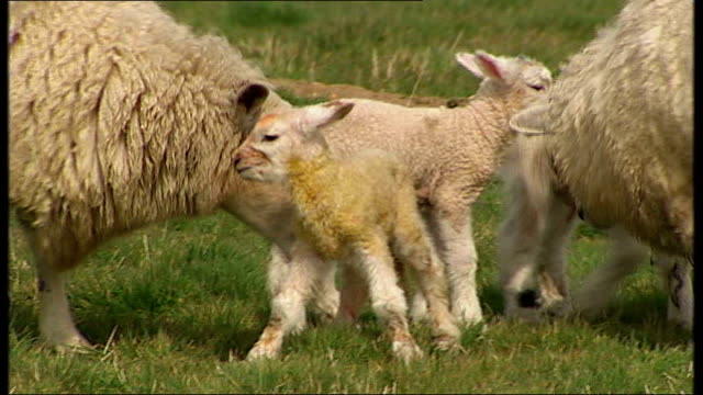 vídeos y material grabado en eventos de stock de spring lambs born infected with blue tongue disease east sussex winchelsea good shots of newborn lambs in field with their mothers - east sussex