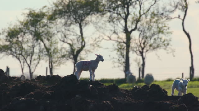 spring lambs running on mound, cayton, north yorkshire, england - small group of animals stock videos & royalty-free footage