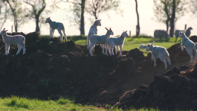 spring lambs running on mound, cayton, north yorkshire, england - sheep stock videos & royalty-free footage
