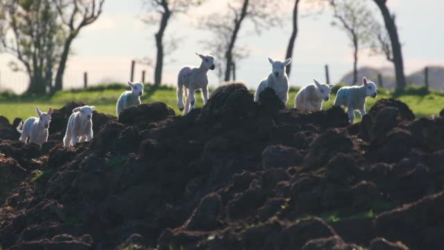 spring lambs running on mound, cayton, north yorkshire, england - springtime stock videos & royalty-free footage