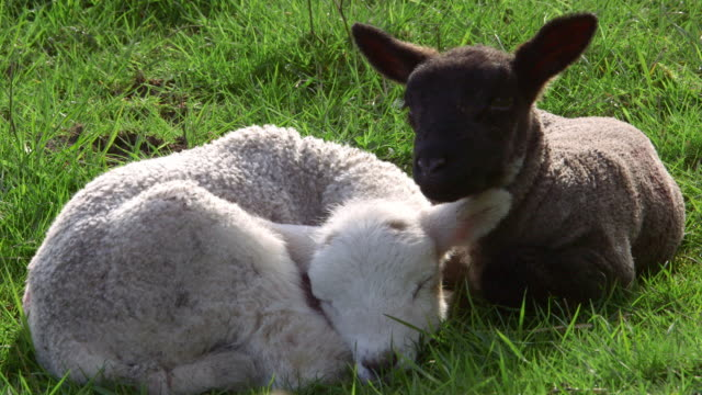spring lambs - lamb animal stock videos and b-roll footage