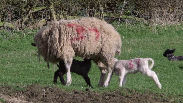 spring lambs - mutterschaf stock-videos und b-roll-filmmaterial