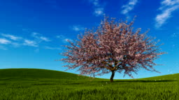 Spring landscape with single cherry tree in full blossom