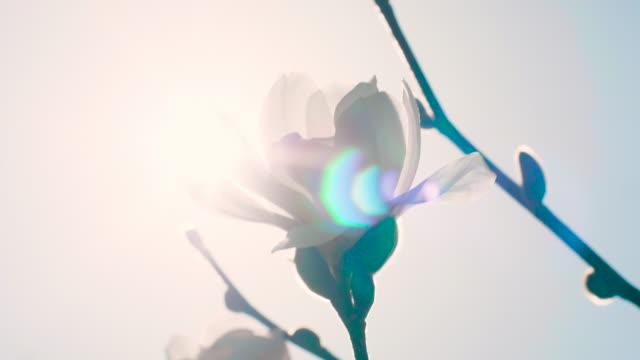 vídeos y material grabado en eventos de stock de resorte magnolia - florecer
