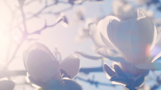 spring magnolia - flower stock videos & royalty-free footage