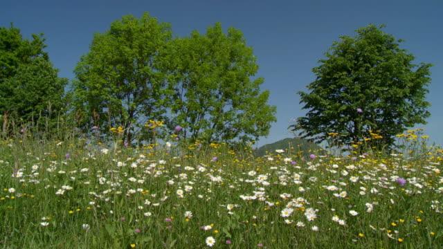 DOLLY HD: Spring Wiese von Gänseblümchen