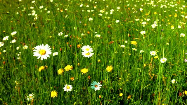 vídeos y material grabado en eventos de stock de spring meadow travelling (4 k uhd a/hd) - crisantemo