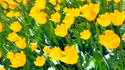 Spring meadow with a lot of yellow tulip flowers, floral video. Saturated spring field with yellow flowers. Nature concept. Arrival of good weather.