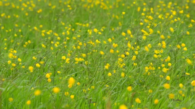 spring meadow with buttercups flowers - wildflower stock videos & royalty-free footage