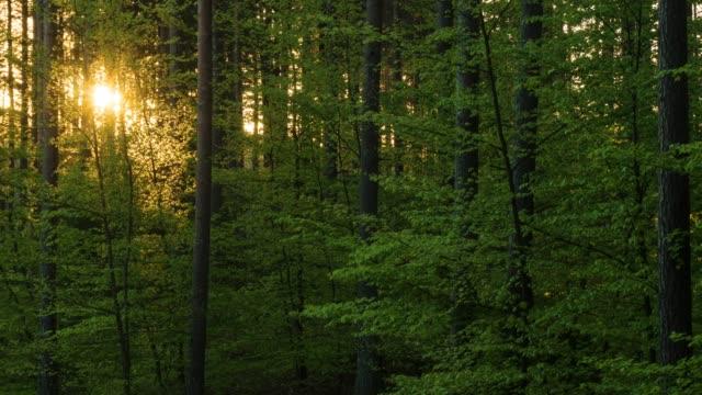 vídeos de stock, filmes e b-roll de manhã de primavera, em uma floresta de faias - faia árvore de folha caduca