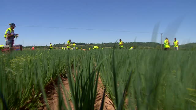 spring onions being picked on a farm - harvesting stock videos & royalty-free footage