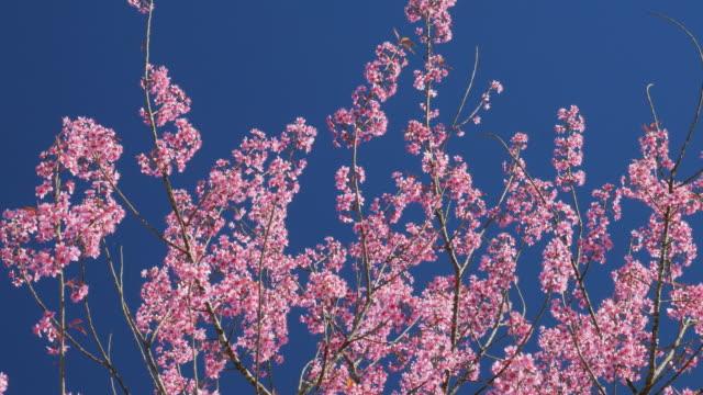 stockvideo's en b-roll-footage met spring pink cherry blossom en blauwe hemel, 4k(uhd) - mei