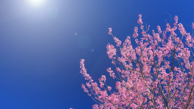 Spring Pink Cherry Blossom and blue sky , 4k(UHD)