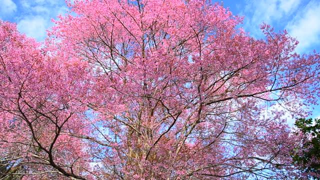 stockvideo's en b-roll-footage met spring pink cherry blossom trees - mei