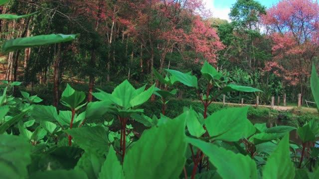 タイのチェンマイで春のピンクの桜 - 四月点の映像素材/bロール