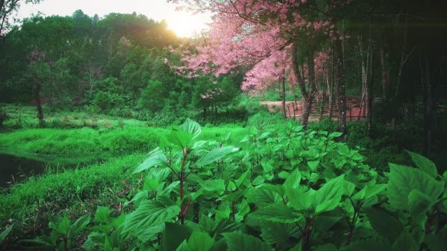 チェンマイタイの春のピンクの桜の花 - 四月点の映像素材/bロール