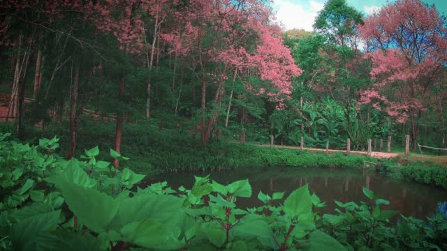 spring pink cherry blossoms in chiang mai thailand - chiang mai city stock videos and b-roll footage