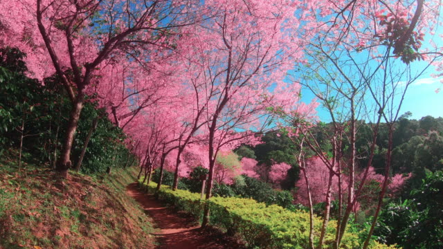 spring pink cherry blossoms in chiang mai - may stock videos & royalty-free footage