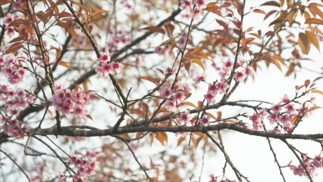 spring pink cherry blossoms on a clear sky. - crane shot stock videos & royalty-free footage