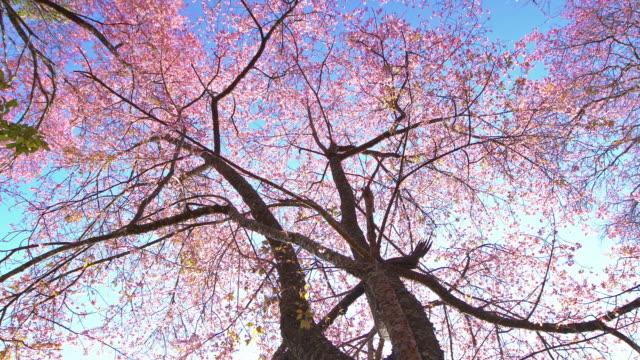 stockvideo's en b-roll-footage met lente roze cherry blossoms - mei