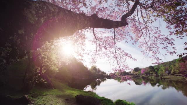 vídeos y material grabado en eventos de stock de primavera rosa cerezos en flor - grounds