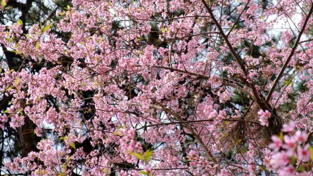 春のピンクの桜の - 四月点の映像素材/bロール