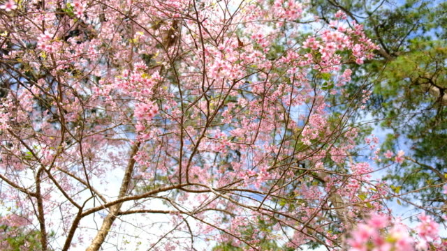 spring pink cherry blossoms - satoyama scenery stock videos & royalty-free footage