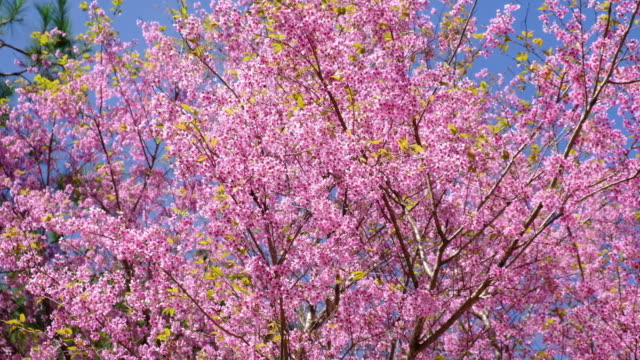 Spring Pink Cherry Blossoms with Blue Sky Backgrounds