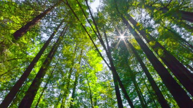 vídeos de stock, filmes e b-roll de primavera de pau-brasil floresta - parque nacional de redwood