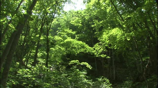 vídeos y material grabado en eventos de stock de spring runoff flows through a forest on mt. chokai, japan. - árbol de hoja caduca