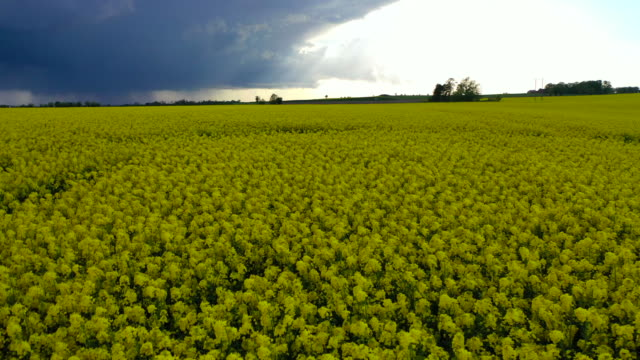 spring scenery of oilseed rape field / alstad, sweden - flowerbed stock videos & royalty-free footage