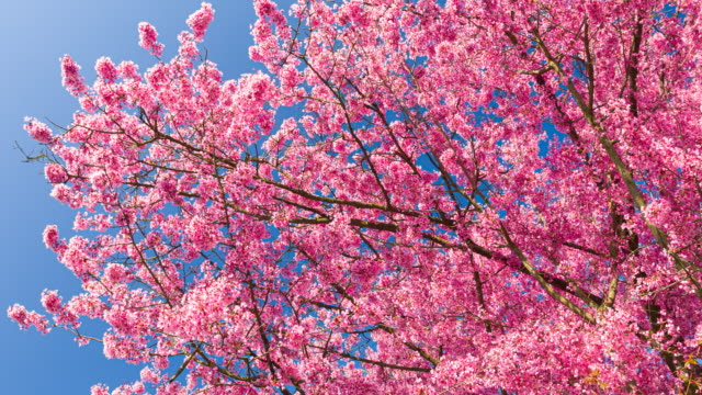 spring scenery with beautiful pink cherry blossoms, bokeh background, the sun and blue sky - great white cherry stock videos & royalty-free footage