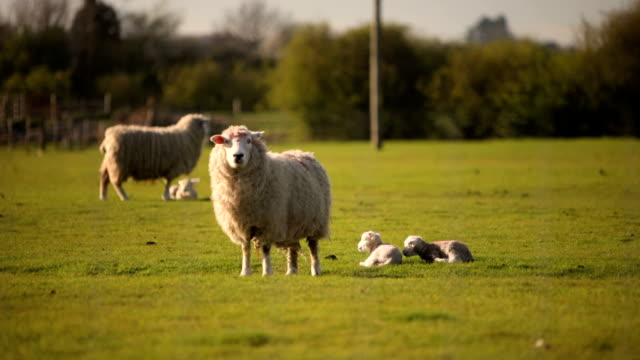 vídeos de stock, filmes e b-roll de primavera ovelhas e lambs - dormindo