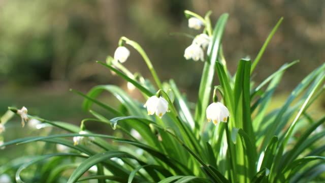 stockvideo's en b-roll-footage met de bloem van de sneeuwvlok van de lente - springtime